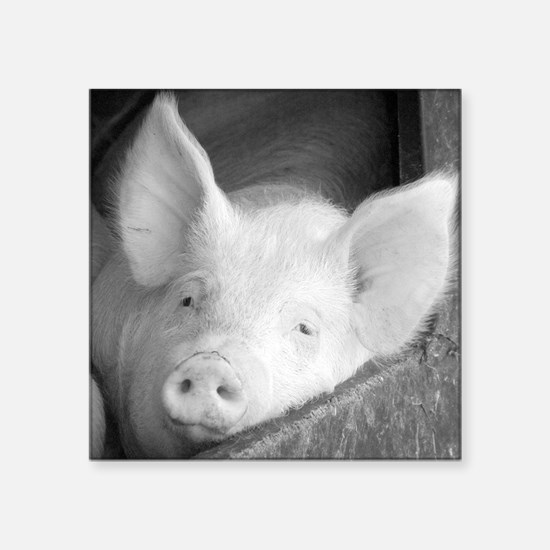 "Pig Square Sticker 3"" x 3"""