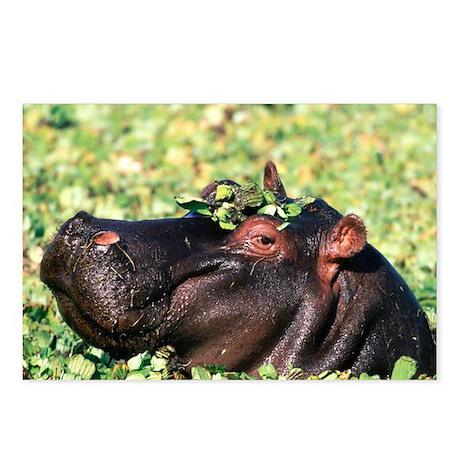 Casanova Hippopotamus Postcards (Package of 8)