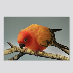 Sun Conure Postcards (Package of 8)