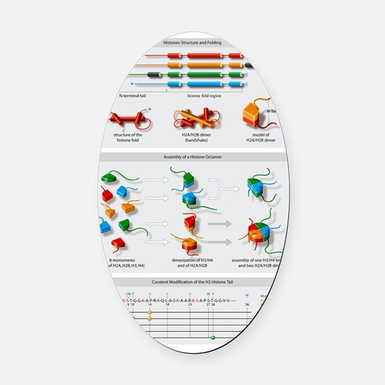 Histone structures, diagram Oval Car Magnet
