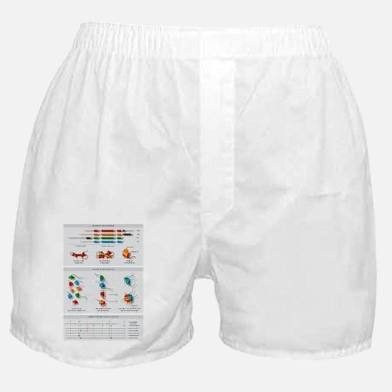 Histone structures, diagram Boxer Shorts