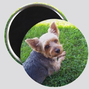 Attention dog loverAdorable little Yorky do Magnet