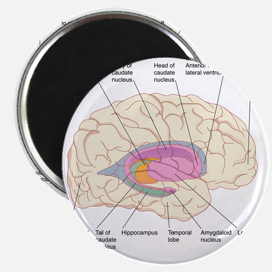 Basal ganglia, artwork Magnet