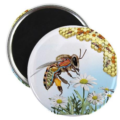 Bee anatomy, artwork Magnet