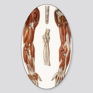 Arm anatomy, historical artwork Sticker (Oval)