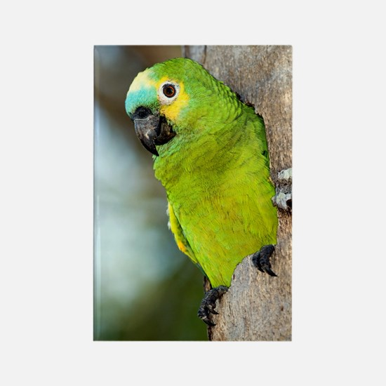 Blue-fronted parrot Rectangle Magnet