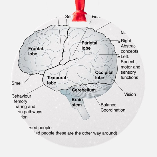 Functional areas of the brain, artw Ornament