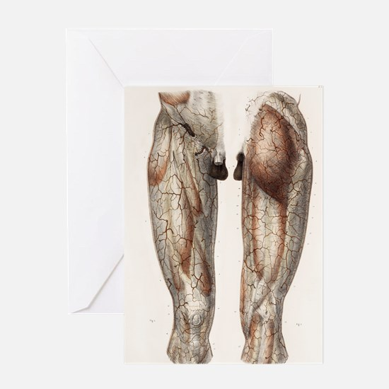 Leg anatomy, 19th Century illustrati Greeting Card