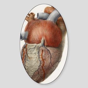 Heart anatomy, 19th Century illustr Sticker (Oval)