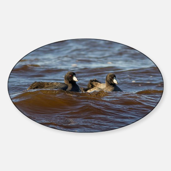 American Coots Sticker (Oval)