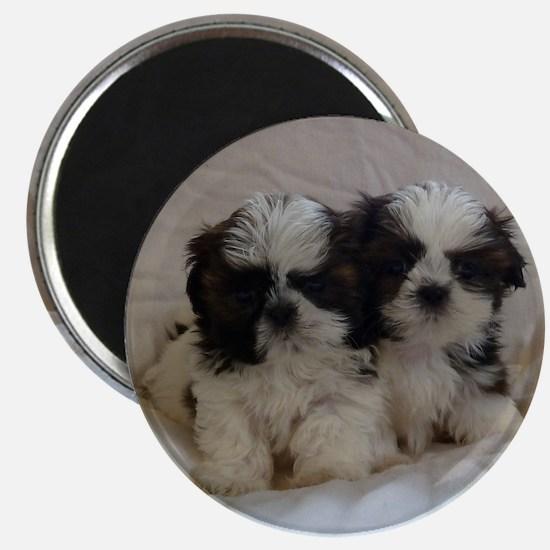 Two Shih Tzu Puppies Magnet