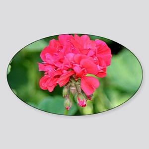 Geranium flower (red) in bloom Sticker (Oval)