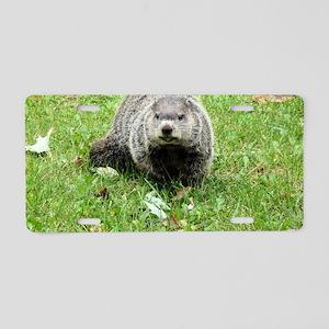 Groundhog eating Aluminum License Plate