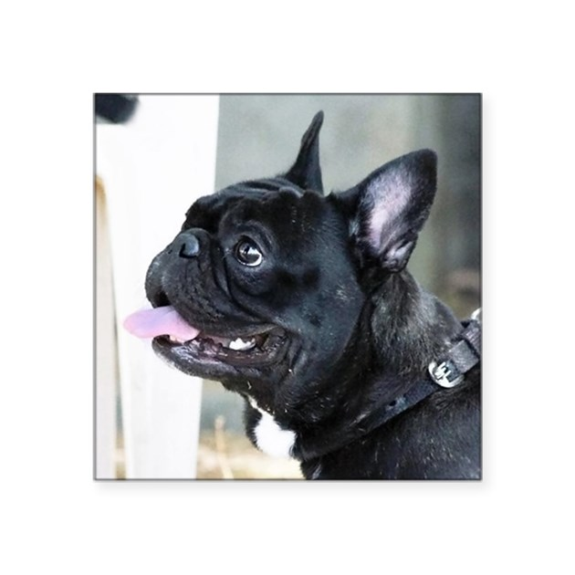 french bulldog height black french bulldog square sticker 3 quot x 3 quot by listing 4317