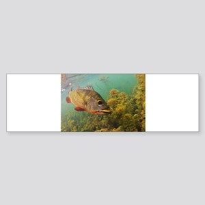 Peacock Bass Sticker (Bumper)
