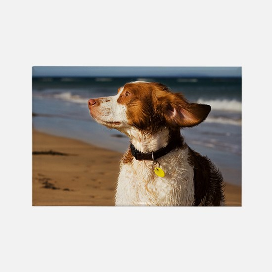 Brittany Dog Breed Magnets