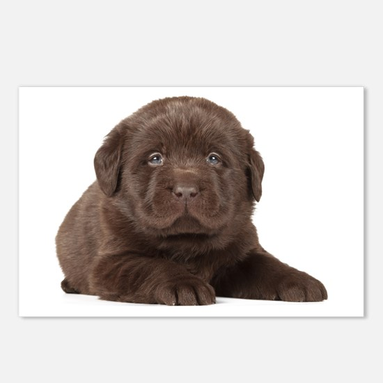 Chocolate Lab Puppy Postcards (Package of 8)