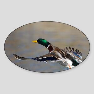 duck in flight Sticker (Oval)
