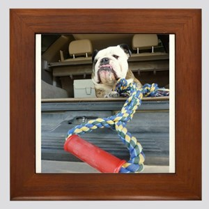 English bulldog with tug toy Framed Tile