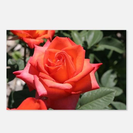Red Hybrid Tea Rose Postcards (Package of 8)