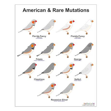 American Other Rare Mutations Zebra Finch Crazy