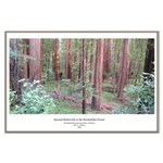 California Ancient Redwoods Large Poster