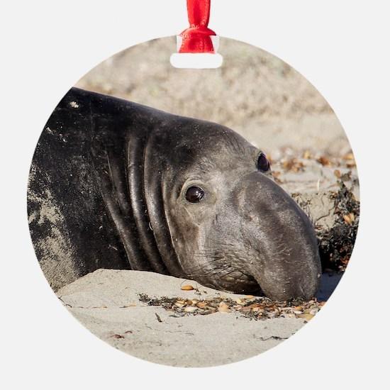 Northern Elephant Seal Ornament