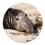 Northern Elephant Seal Round Round Car Magnet