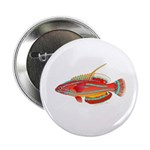 McCoskers flasher wrasse 2.25