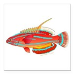 McCoskers flasher wrasse Square Car Magnet 3