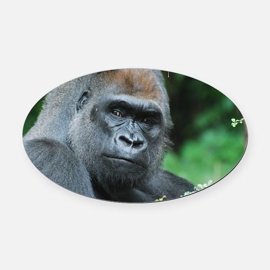 Gorilla Gaze Oval Car Magnet