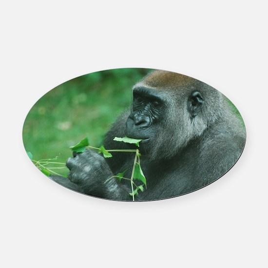Silverback Gorilla Snacking Oval Car Magnet