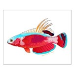 Spot-lined flasher wrasse Posters