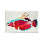 Spot-lined flasher wrasse Magnets