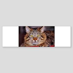 Maine-Coone Cat Bumper Sticker