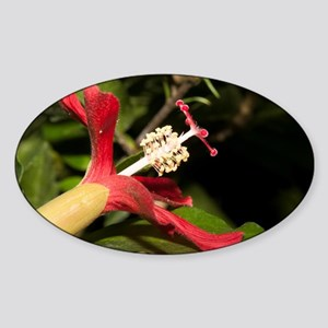 Clay's Hibiscus (Hibiscus clayi) si Sticker (Oval)