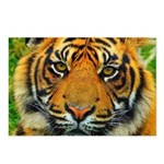 The Last Tiger? Postcards (Package of 8)