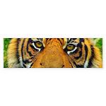 The Last Tiger? Bumper Sticker