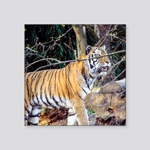 "Tiger in the woods Square Sticker 3"" x 3"""