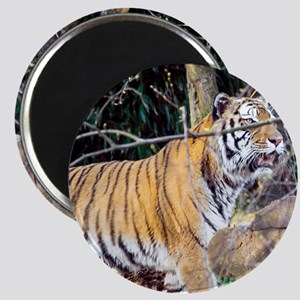 Tiger in the woods Magnet