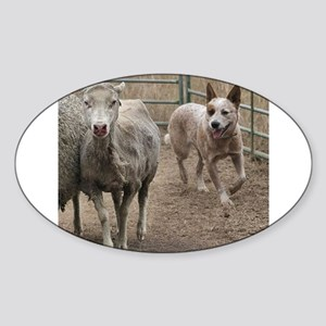 australian cattle dog herding Sticker