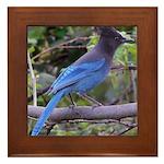 Steller's Jay on Branch Framed Tile