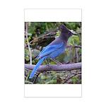 Steller's Jay on Branch Mini Poster Print