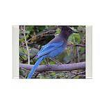 Steller's Jay on Branch Rectangle Magnet (100 pack
