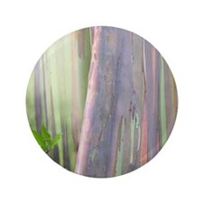 Rainbow Eucalyptus Tree 3.5