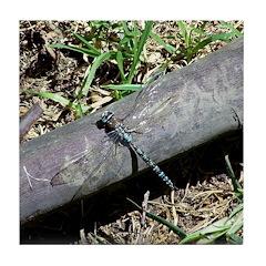Blue Dragonfly in Bogota Tile Coaster