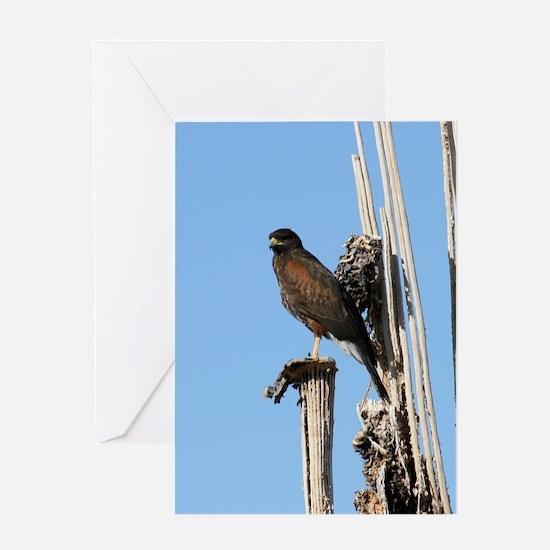 Harris Hawk in Arizona Greeting Cards