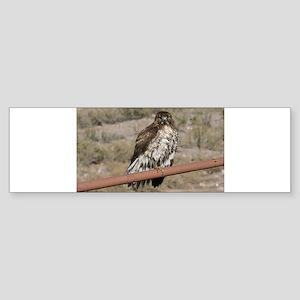 Red-Tailed Hawk Bumper Sticker