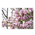 magnolia madness Postcards (Package of 8)