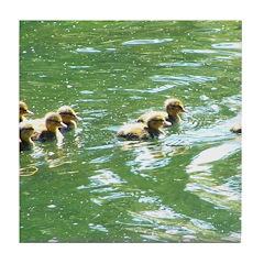 ducklings Tile Coaster